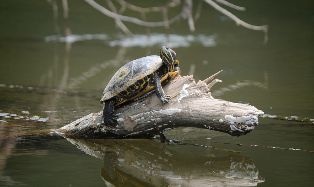 This Turtle in the Conestoga River had a good location to catch some of the action of the 2015 U.S. Women's Open at Lancaster Country Club Thursday. (Photo/Patrick Blain)